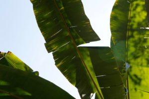 könnyező pálma